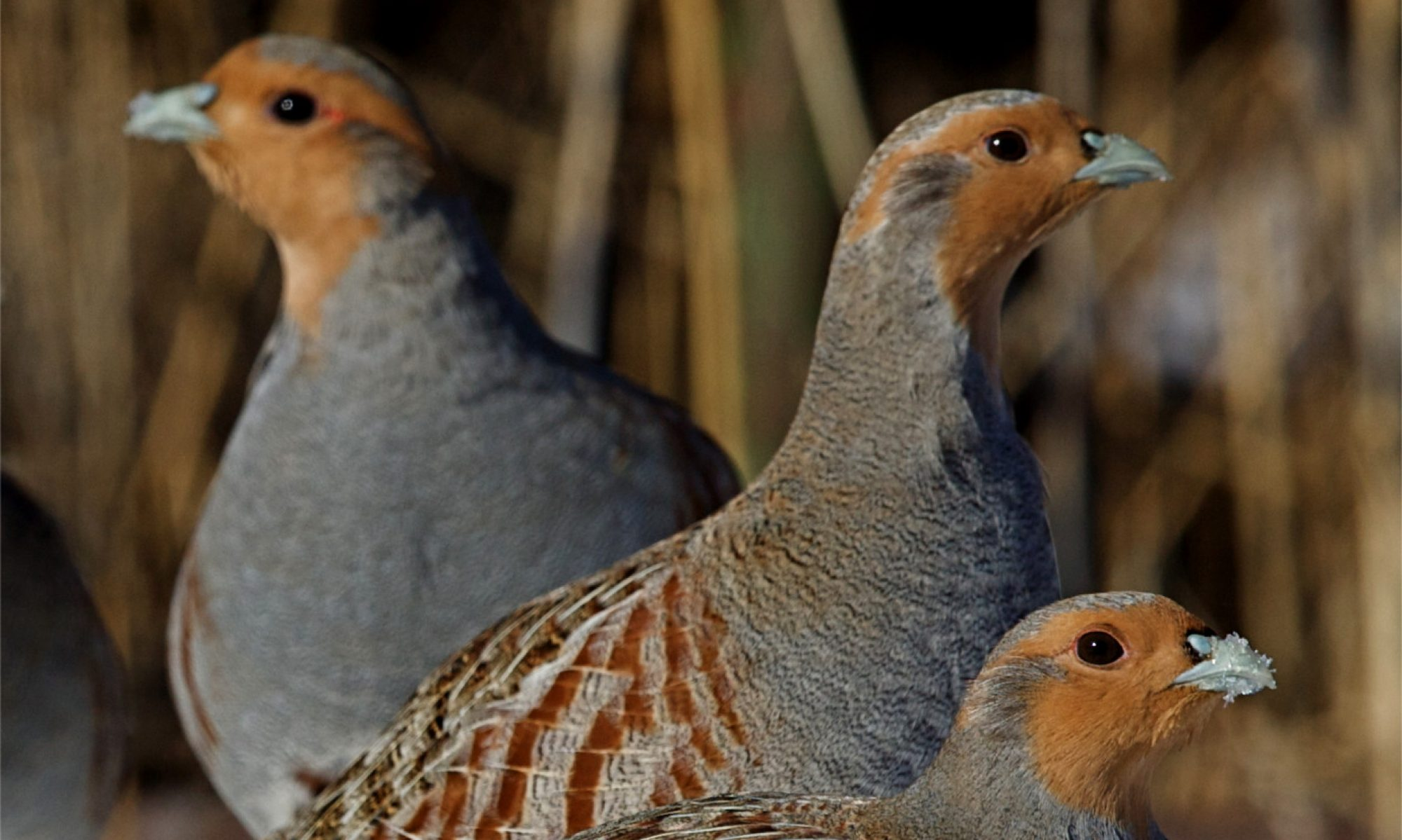 Irish Grey Partridge Conservation Trust