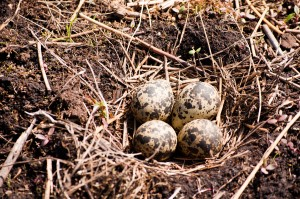 Lapwings nest