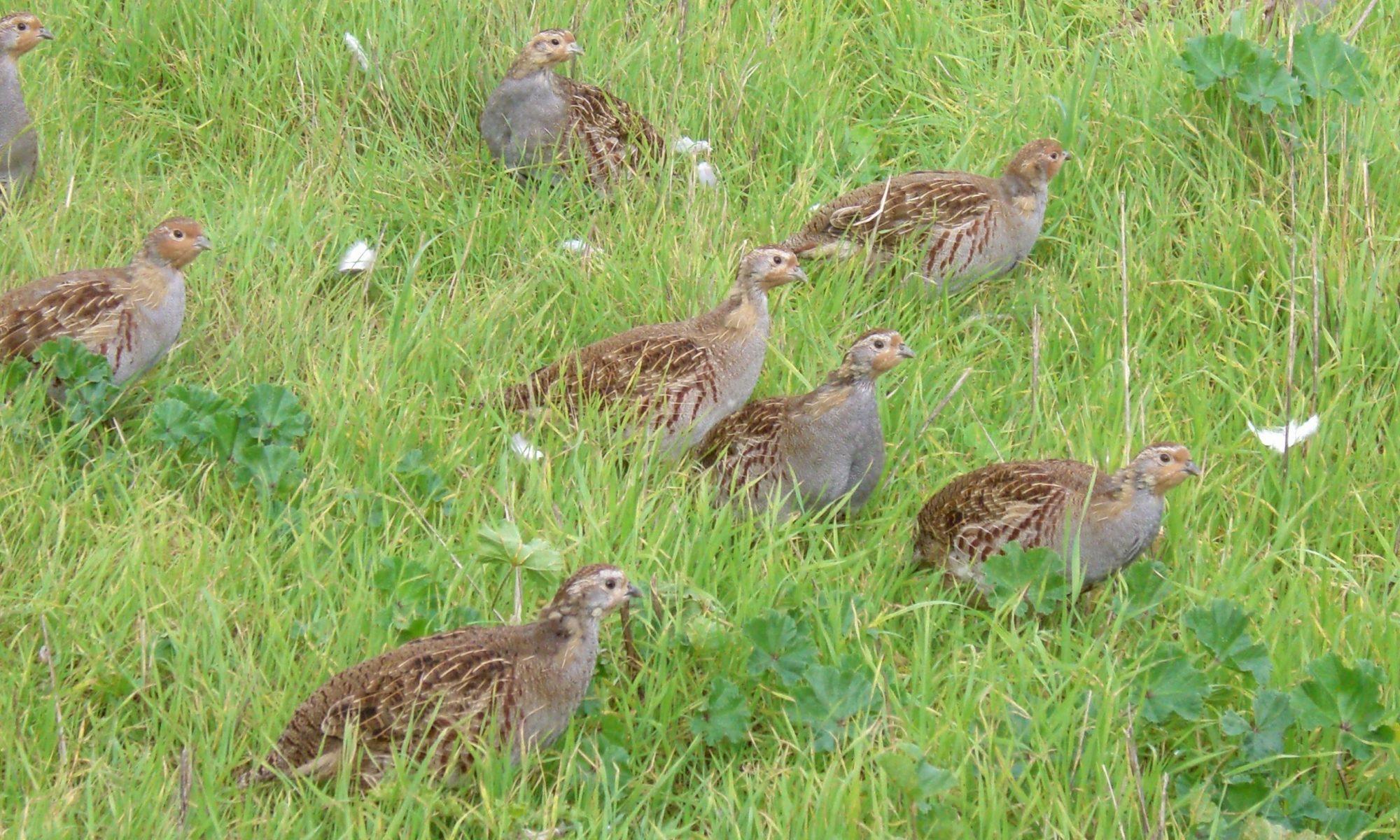 Irish Grey Partridge Conservation Trust