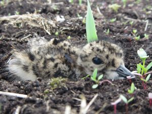 Lapwing Chick Hiding